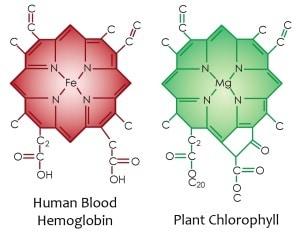 hemoglobin and chlorophyll